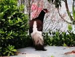 国家文史公园发现国家一级保护动物——褐马鸡!